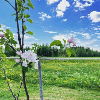 De tidigaste äppelträden i min trädgård blommar nu!